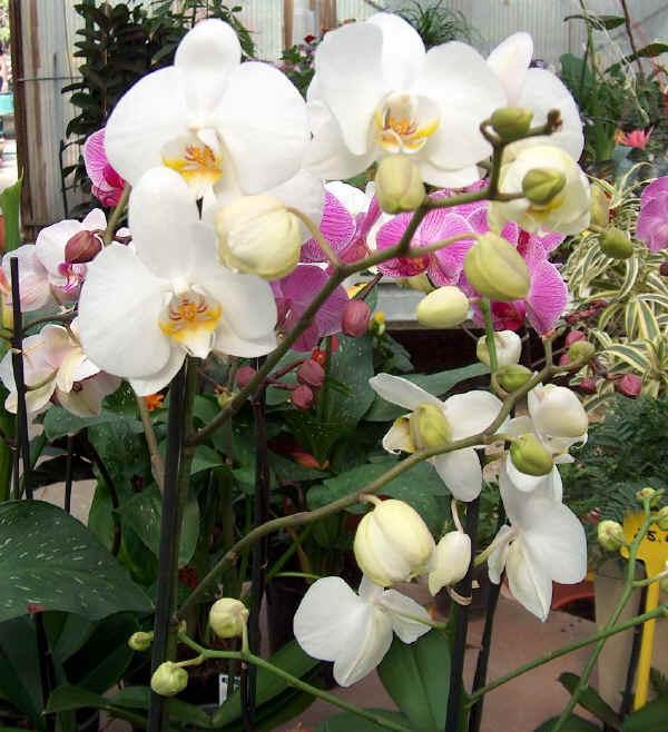 Piante e fiori phalaenopsis for Concime per orchidee