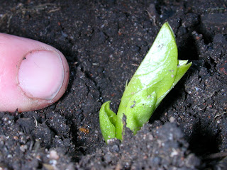 Broad bean seedling, 14 days after planting