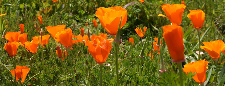 poppies at Filoli