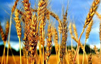 La genética y el trigo
