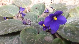 African violet bloom