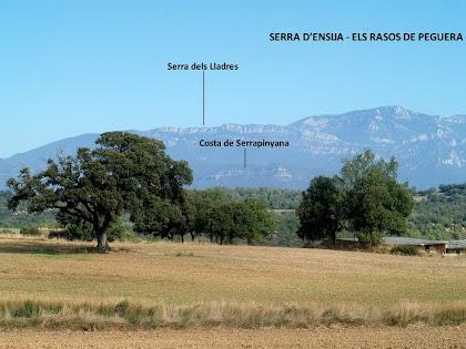 Grosses alzines abans d'arribar a la masia Serrajoana amb les serres d'Ensija i Rasos de Peguera com a teló de fons
