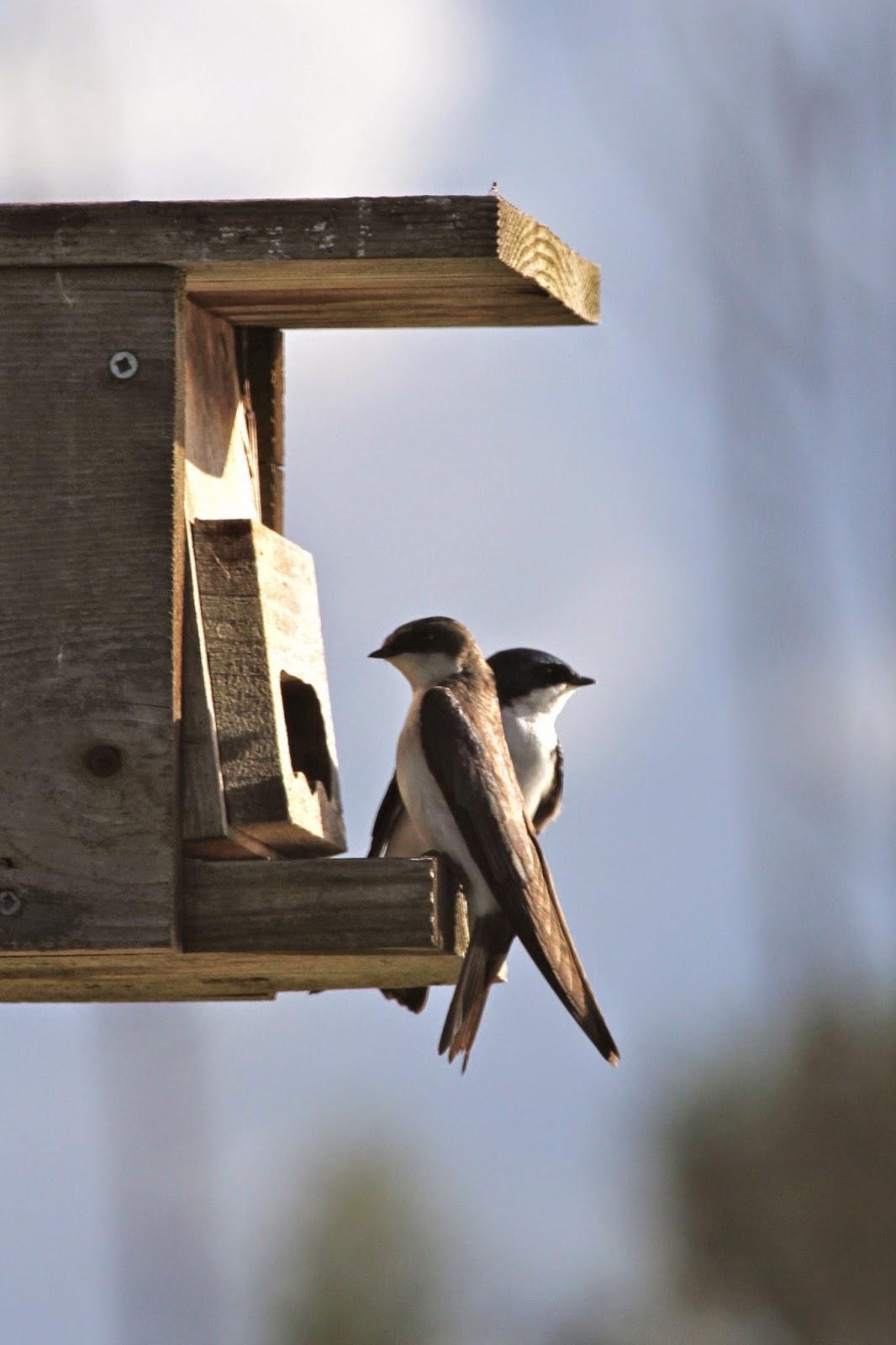 Barn swallow bird nest
