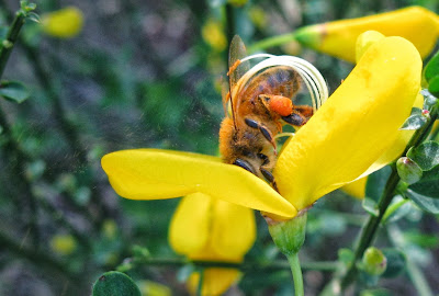 Bee pollinating Spartium junceum