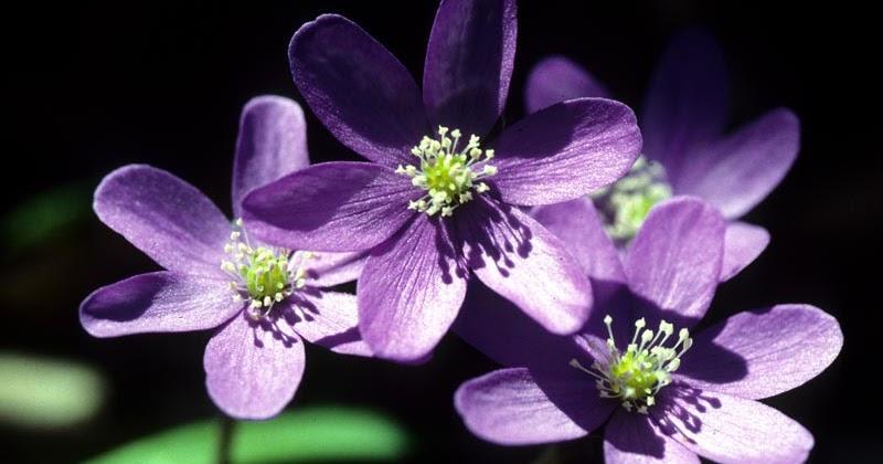 Piante e fiori epatica for Piante da sottobosco