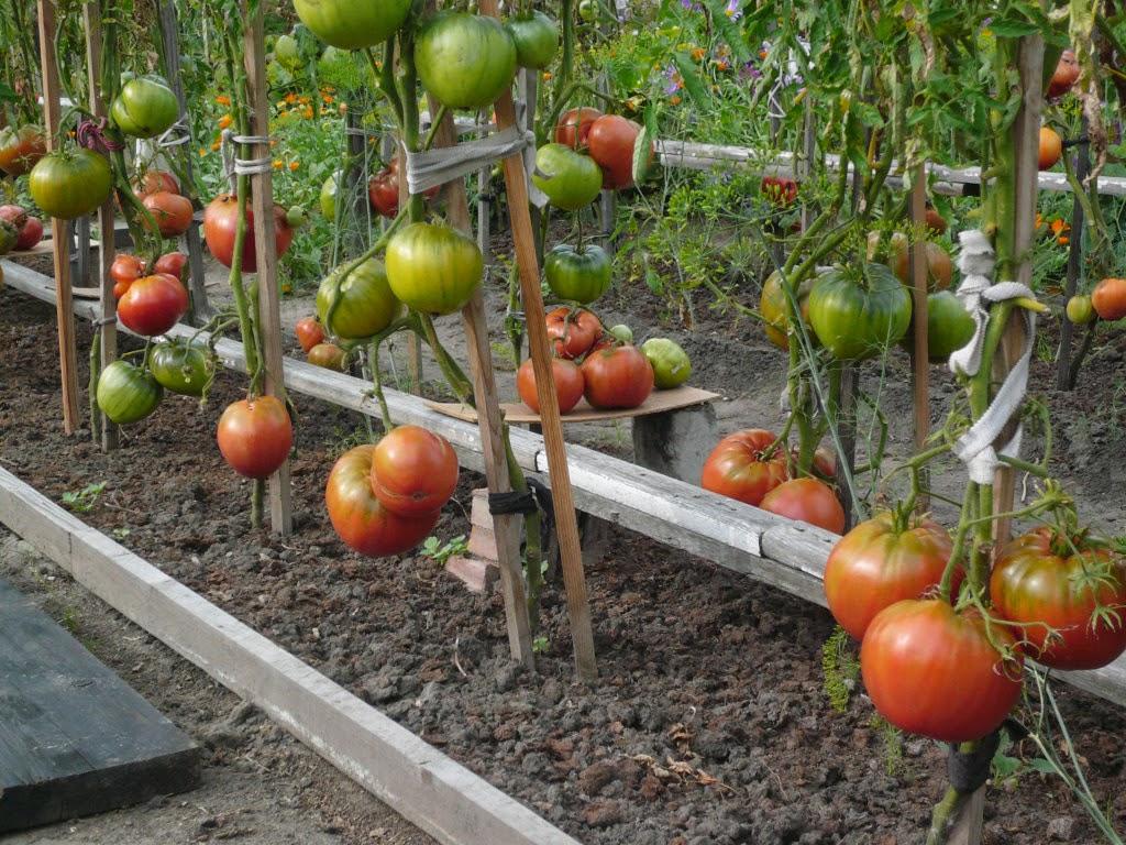 отличные помидорки