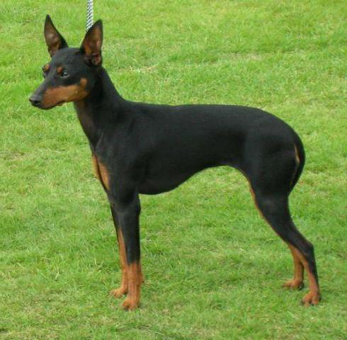 Manchester terrier english toy terrier black and tan for English terrier