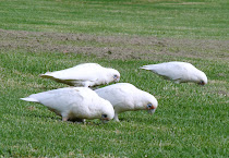 Pericos albinos