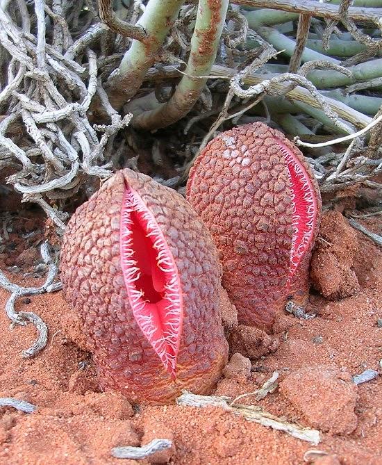 9-loai-hoa-co-mui-hoi-nhat-the-gioi-Hydnora-africana.jpg