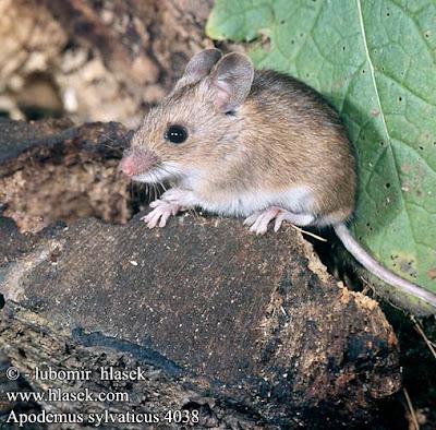 raton de campo de cola larga Apodemus sylvaticus