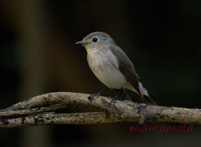 Kaeng Krachan, Red Throated Flycatcher
