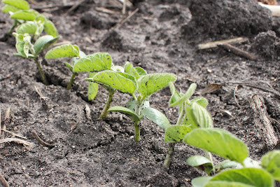 Newly emerged soybeans - May 2015