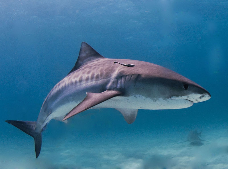 tiger shark attack led to the death of a visitor yesterday. While