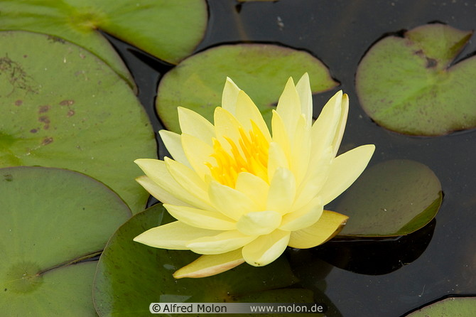 yellow water lily flower - photo #15