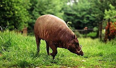 babi rusa