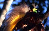 Burung cendrawasih yang hampir punah