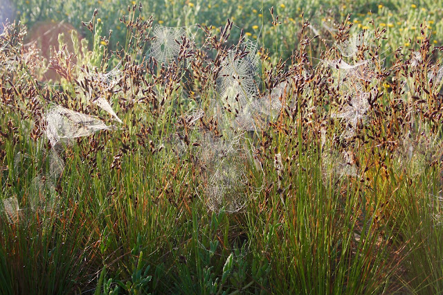 A Multitude of Spider Webs in the Beach Grass-Matagorda Beach-Matatagorda, Texas