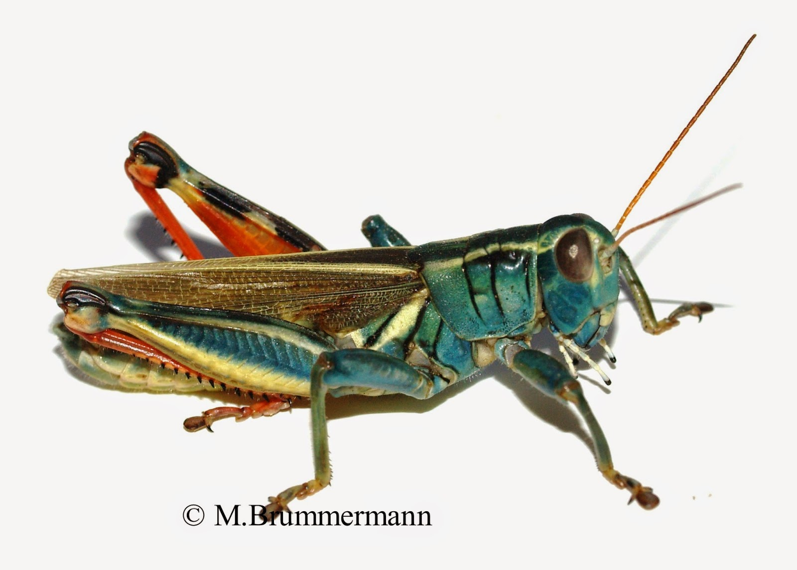 U.s. Grasshoppers Arizona: Beetles, Bugs...