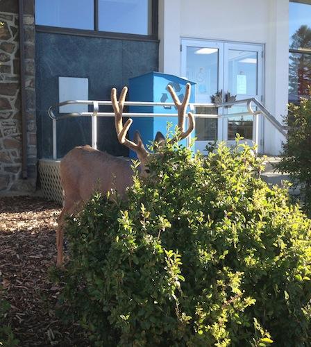 a shy deer hiding behind a bush