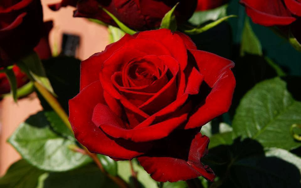 fresh red rose image