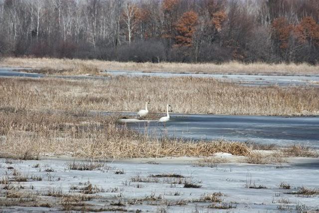 Spring swans at Carlos Avery