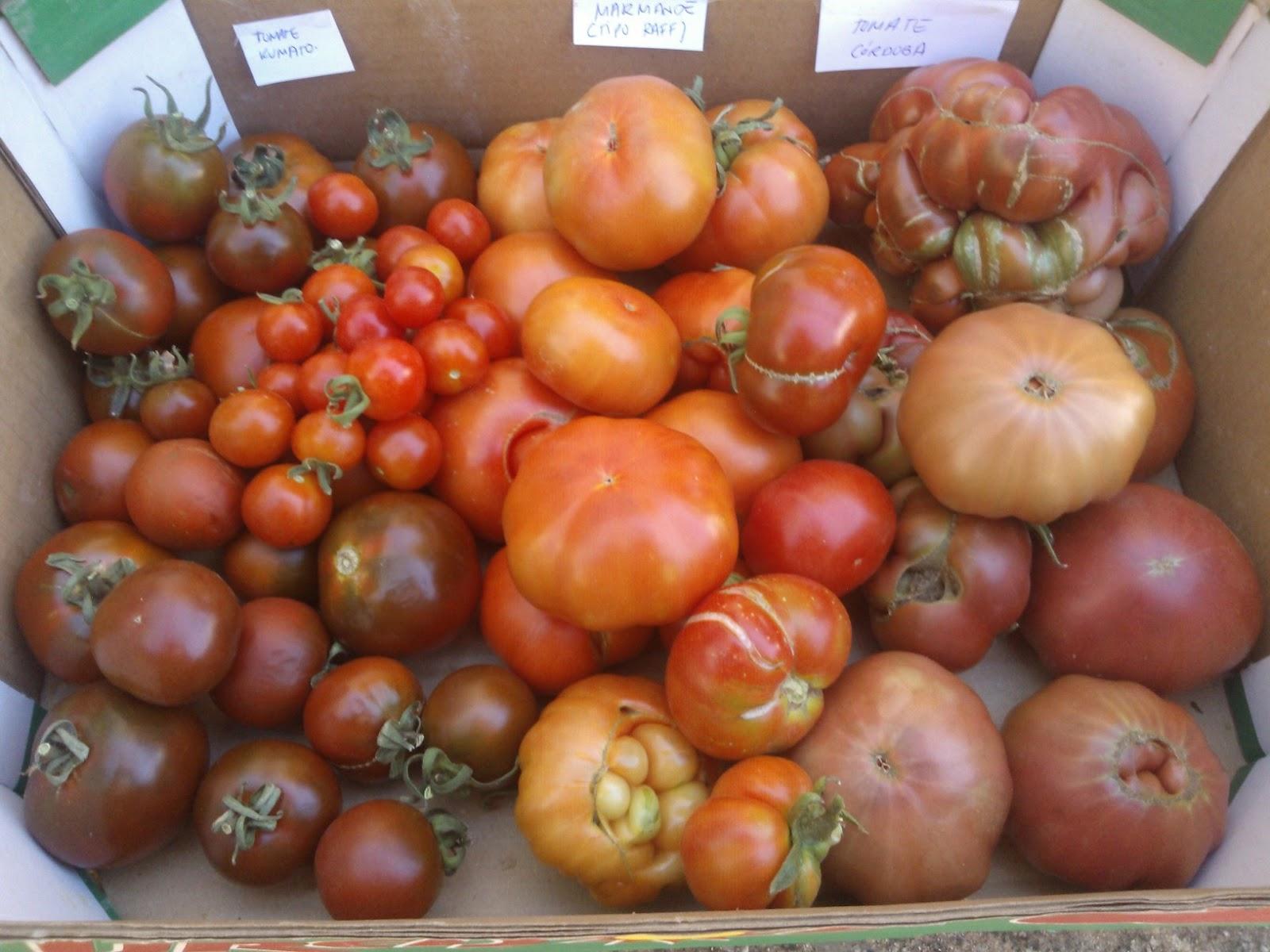 Variedades de tomates cultivadas en La Regadera Verde