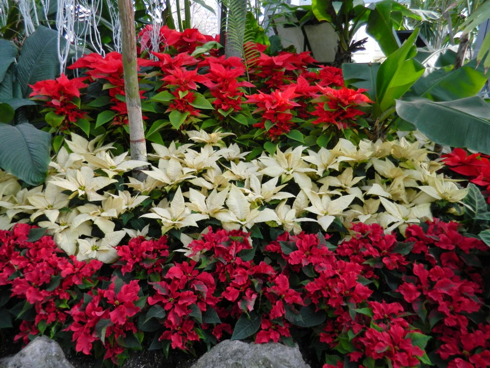 Allan Gardens Conservatory Christmas Flower Show 2014 layers red white poinsettias by garden muses-not another Toronto gardening blog