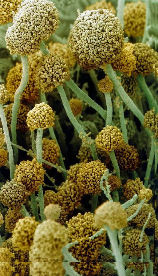 R. oligosporus