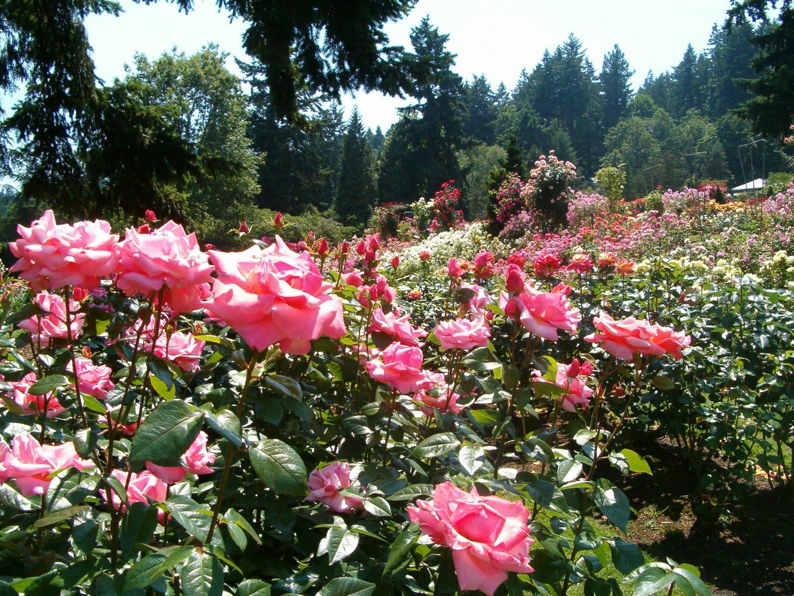 Julie 39 S Journeys Portland Oregon International Rose Test Garden