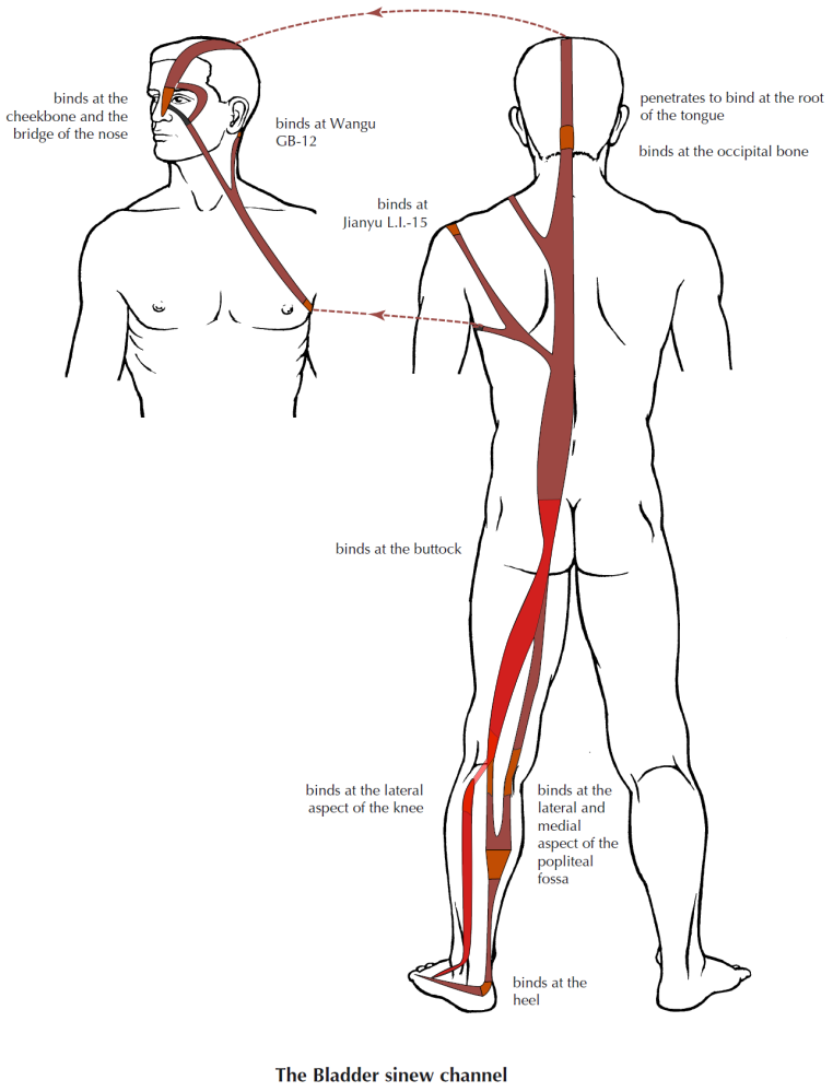 Anatomy Of The Sinew Channels The Peroneus Longus And The Urinary