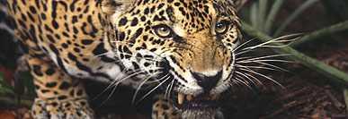 ONÇA PINTADA - terceiro maior felino após o tigre e o leão
