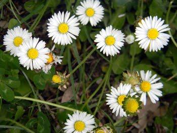 Bellis perennis (Pratolina comune)