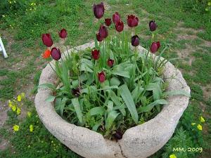 KIBRIS LALESİ (Tulipa Cypria)