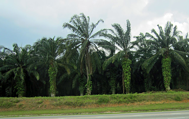 palm plantations close-up