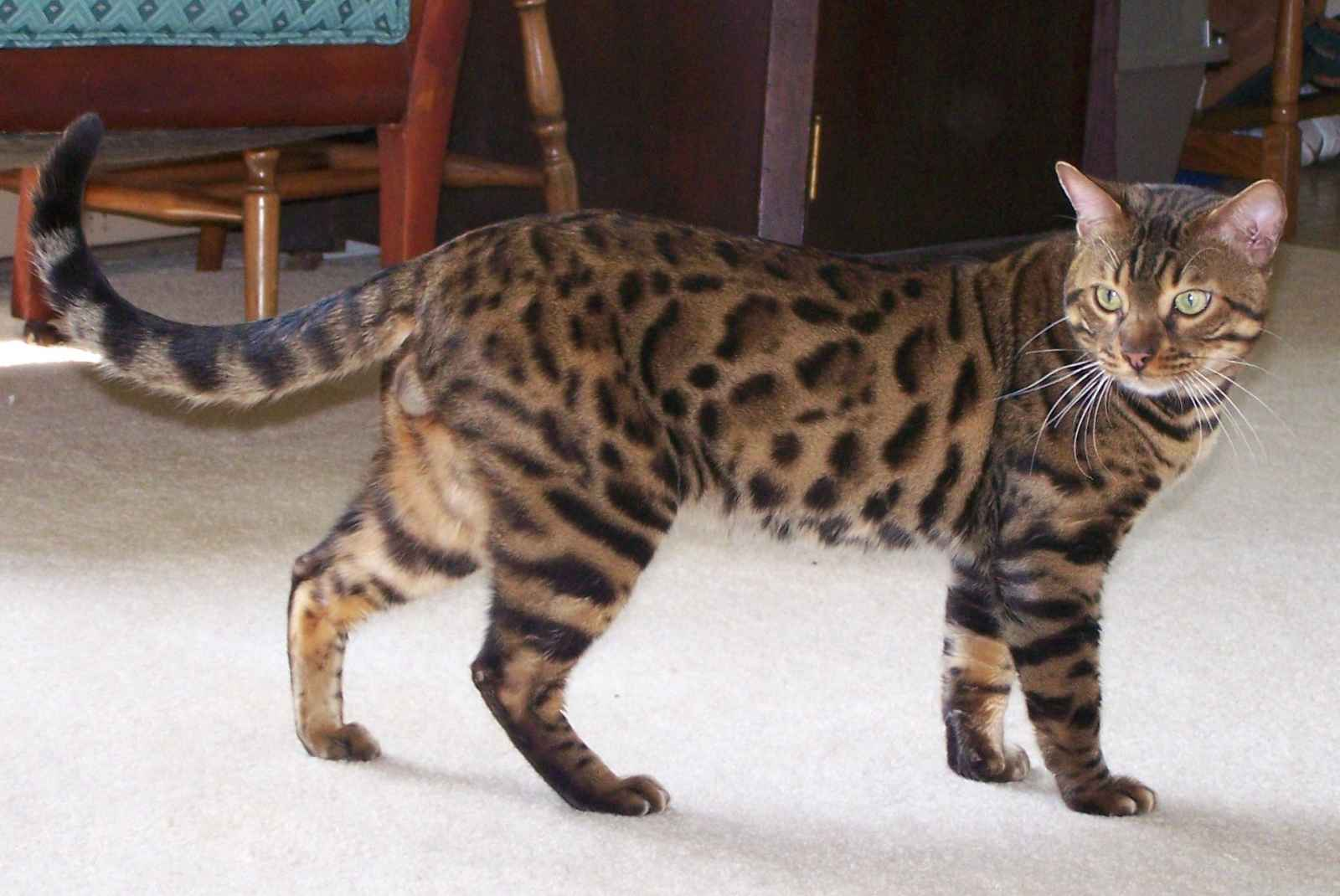 Bengal Cats Pictures 2015 - Pictures Of Animals 2016