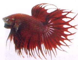ikan hias cupang