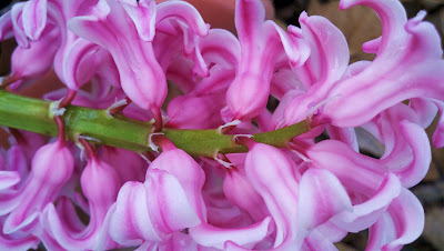 Close up of pink hyacinth and green stalk.