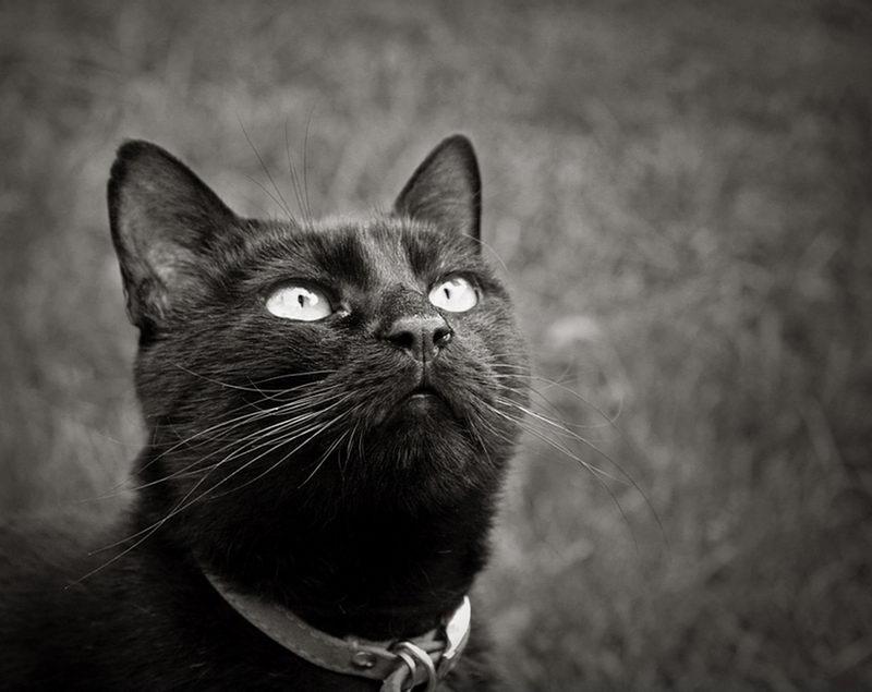 Pormenor da cabeça de um gato preto a olhar para cima, contra um fundo desfocado. Foto a B&W