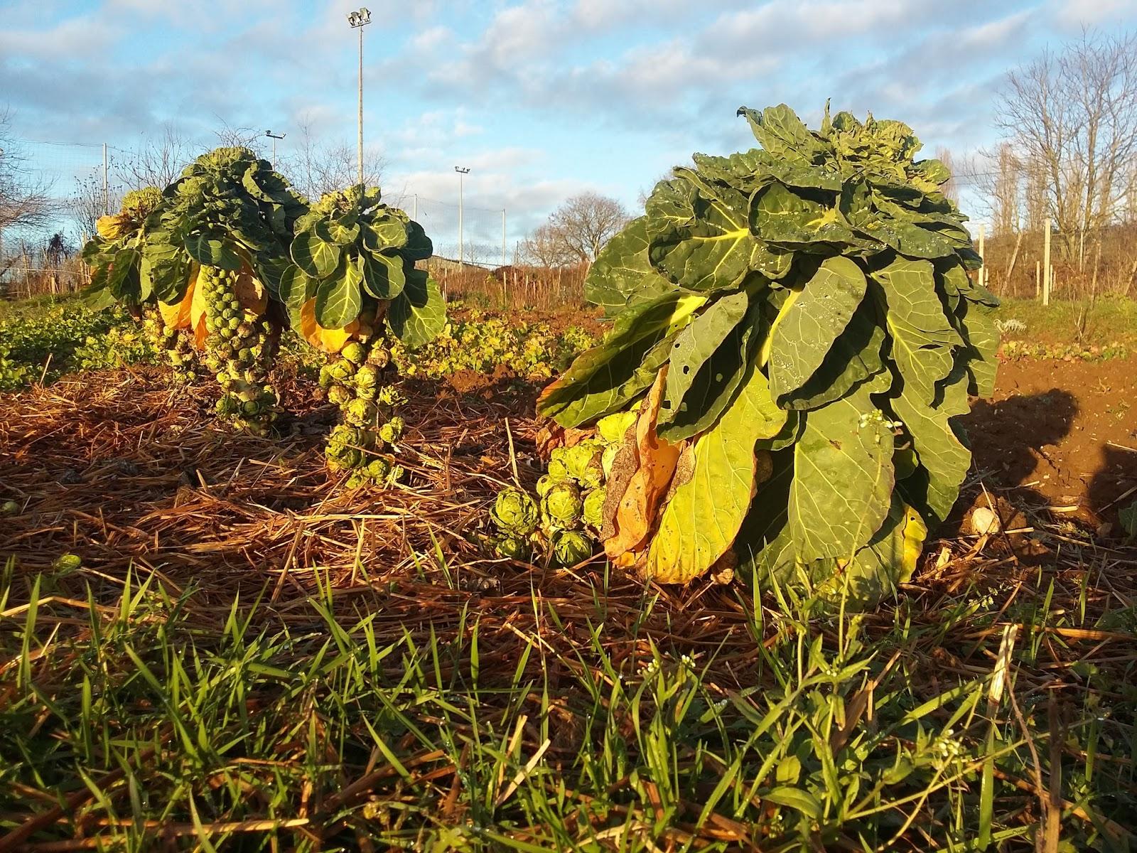 Babzy photos blog savez vous planter les choux - Planter des choux de bruxelles ...