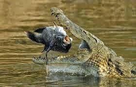 التمساح القاتل