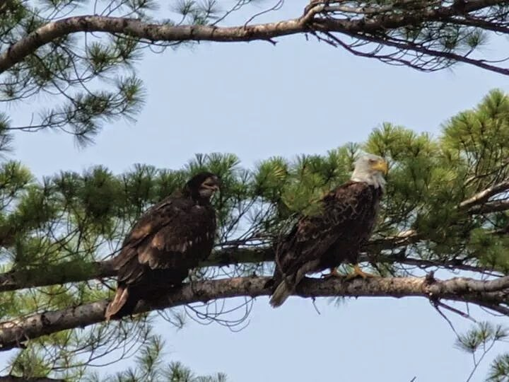 Pair of Bald Eagles, Crawford Lake, Michigan