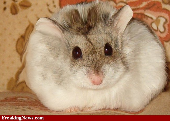 Pictures of fat hamsters