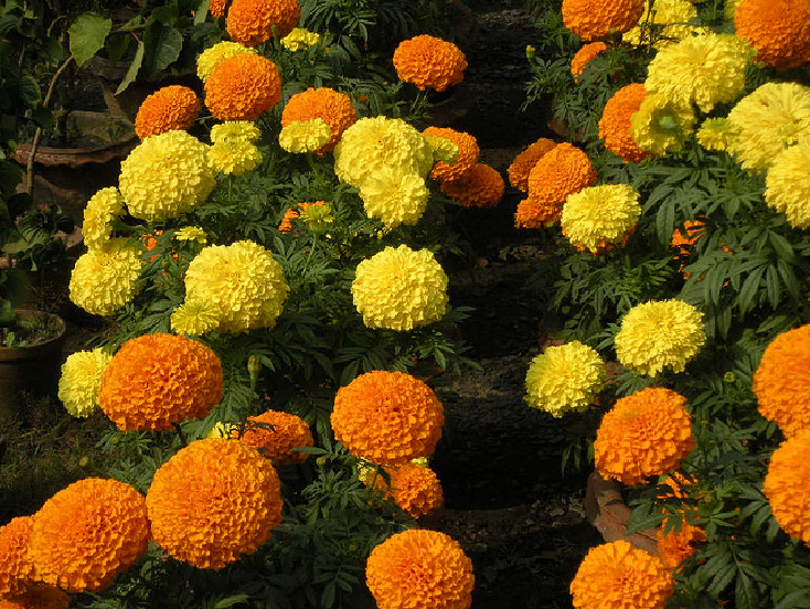 We Love Our Bangladesh Marigold Flower Or Gada Genda Ful Is A