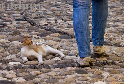 Bosnian cat