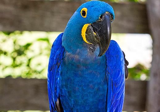 A Arara Azul está em Extinção no Brasil? Fotos-arara-+azul-fotos+(21)