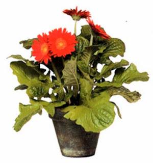 Герберы (Herbera) любят сильное солнце, но, если вы планируете ликвидировать их после цветения, можно украсить ими и темные уголки.