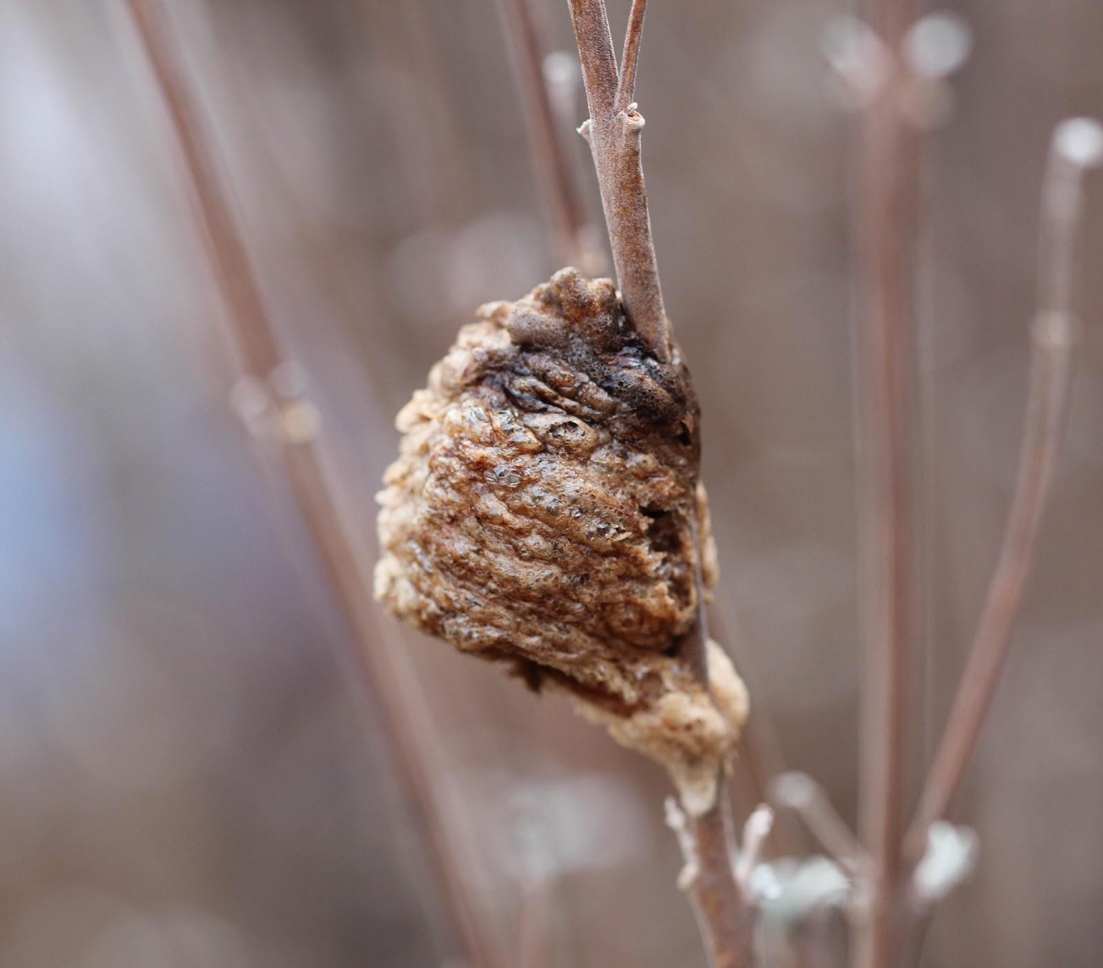 Praying Mantis Eggs A Suburban Wild...