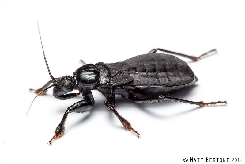 Black corsairs  Melanolestes picipes  are often attracted to lights and may  specialize in capturing scarab beetles with their large  padded fore legs. NCSU PDIC  Kissing Bugs and Chagas Disease in NC