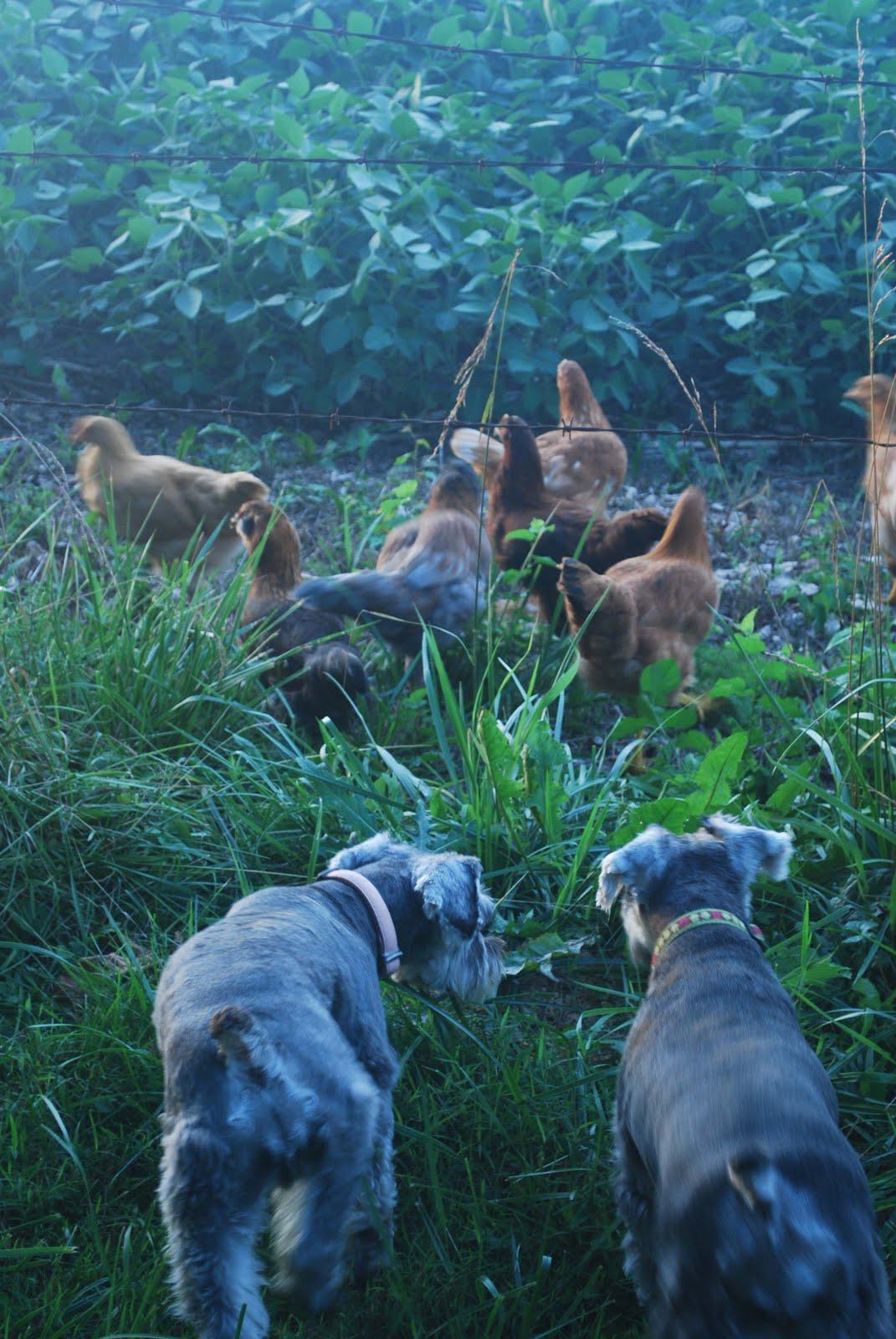 http://1.bp.blogspot.com/-g12-eiB57-c/TleQ4FScgKI/AAAAAAAAEHY/3zIJGzufDtI/s1600/dogs+and+chickens.jpg