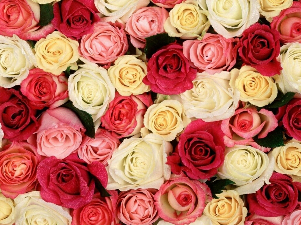 flowers for flower lovers.: beautiful rose flowers wallpapers.